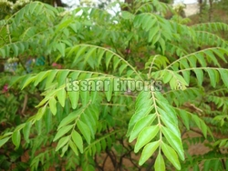 Fresh Curry Leaf from ESSAAR EXPORTS