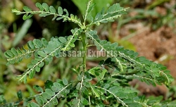 Phyllanthus Amarus from ESSAAR EXPORTS