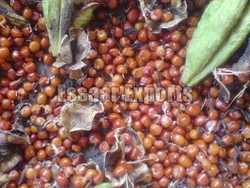Gloriosa Superba Seeds from ESSAAR EXPORTS