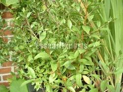 Lawsonia Inermis from ESSAAR EXPORTS