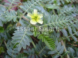 Tribulus Terrestris from ESSAAR EXPORTS