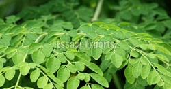 Moringa Leaf from ESSAAR EXPORTS
