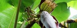 Fresh Plantain Flower from ESSAAR EXPORTS