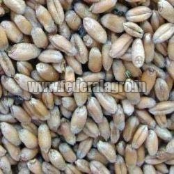 Animal Feed Wheat Seeds from FEDERAL AGRO COMMODITIES EXCHANGE & SUPPLY CO.