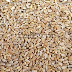 MP Boat Wheat Seeds from FEDERAL AGRO COMMODITIES EXCHANGE & SUPPLY CO.