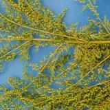 Artemisia Annua P.e.cas No.: 63968-64-9